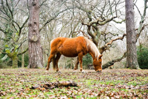 New Forest Horse