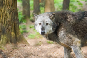 New Forest Wolf