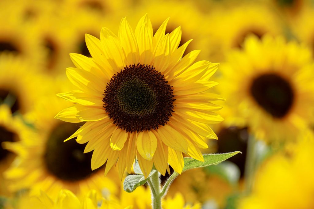 shallow focus photography of yellow sunflower field under sunny sky